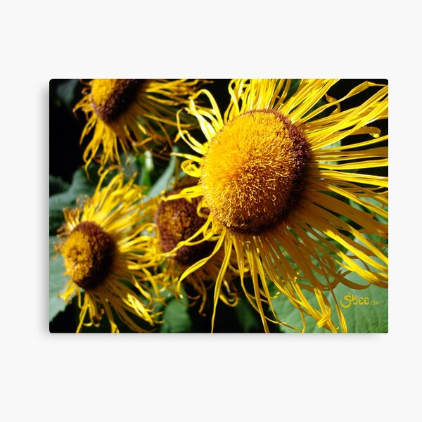 Sunflowers in Bloom - Shee Nature Photography Canvas Print