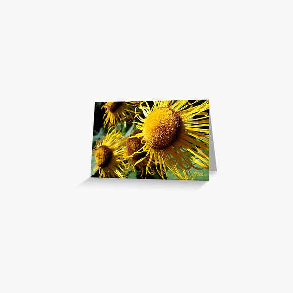 Sunflowers in Bloom - Shee Nature Photography Greeting Card