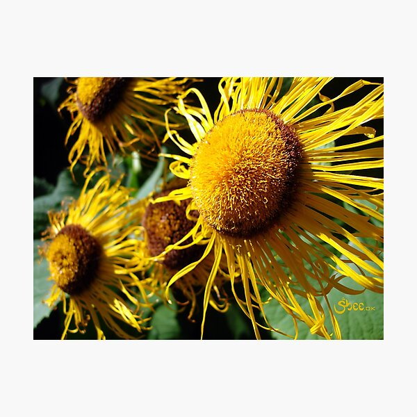 Sunflowers in Bloom - Shee Nature Photography Photographic Print