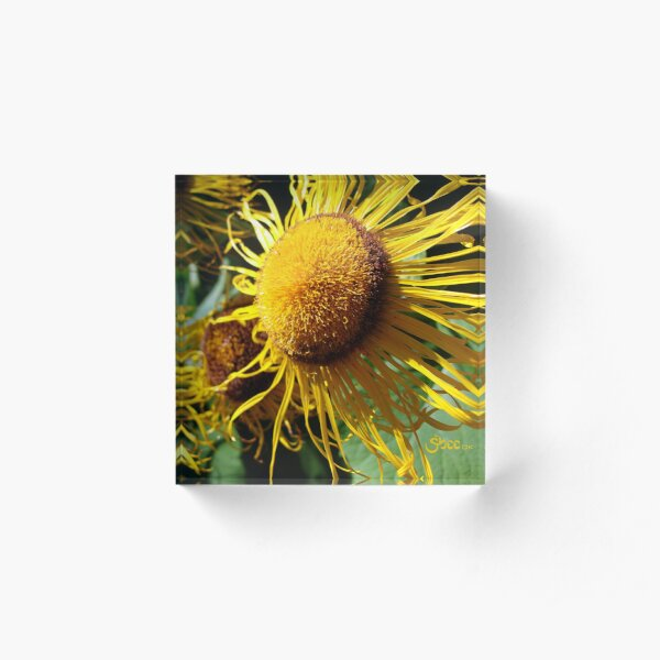 Sunflowers in Bloom - Shee Nature Photography Acrylic Block