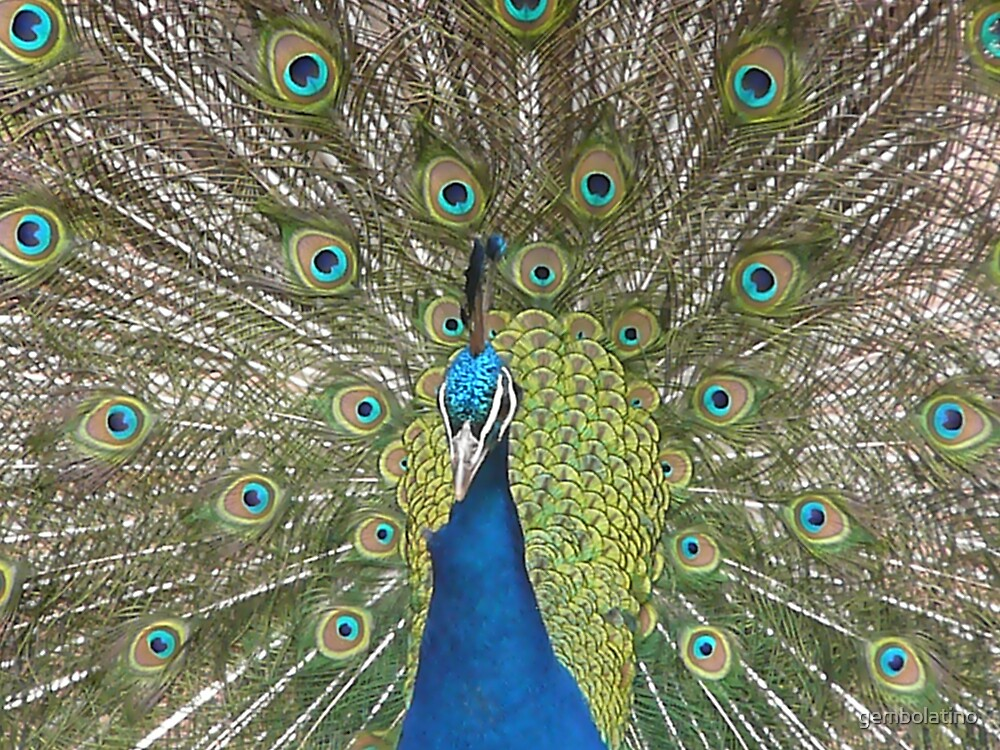 peacock by gembolatino
