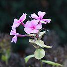 November Pink Phlox by Judi FitzPatrick