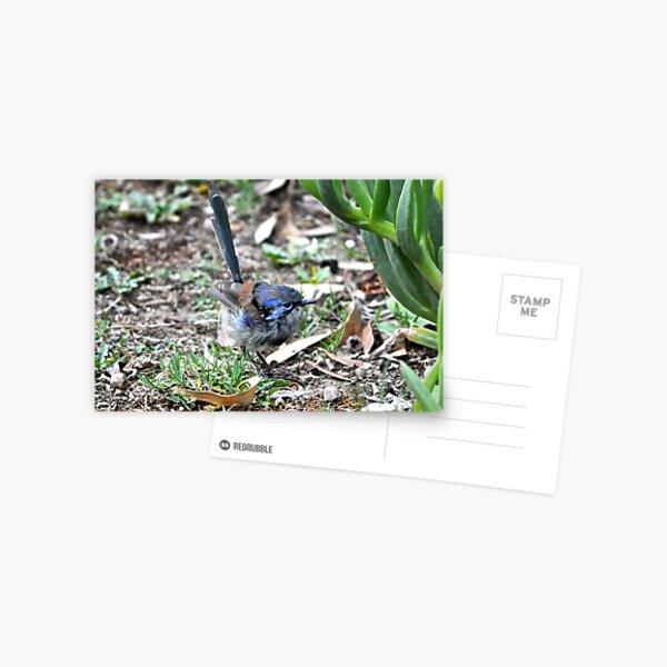 Immature male Variegated Fairy-wren Postcard