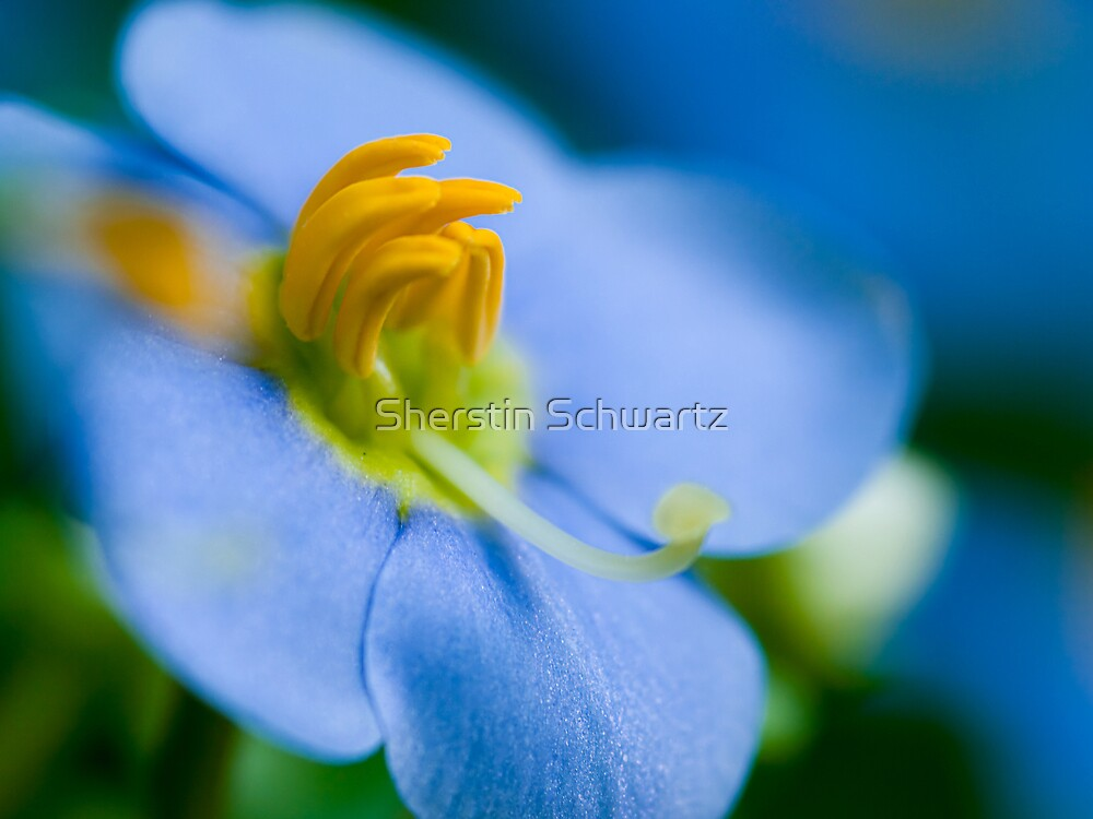 Persian Blue.  by Sherstin Schwartz