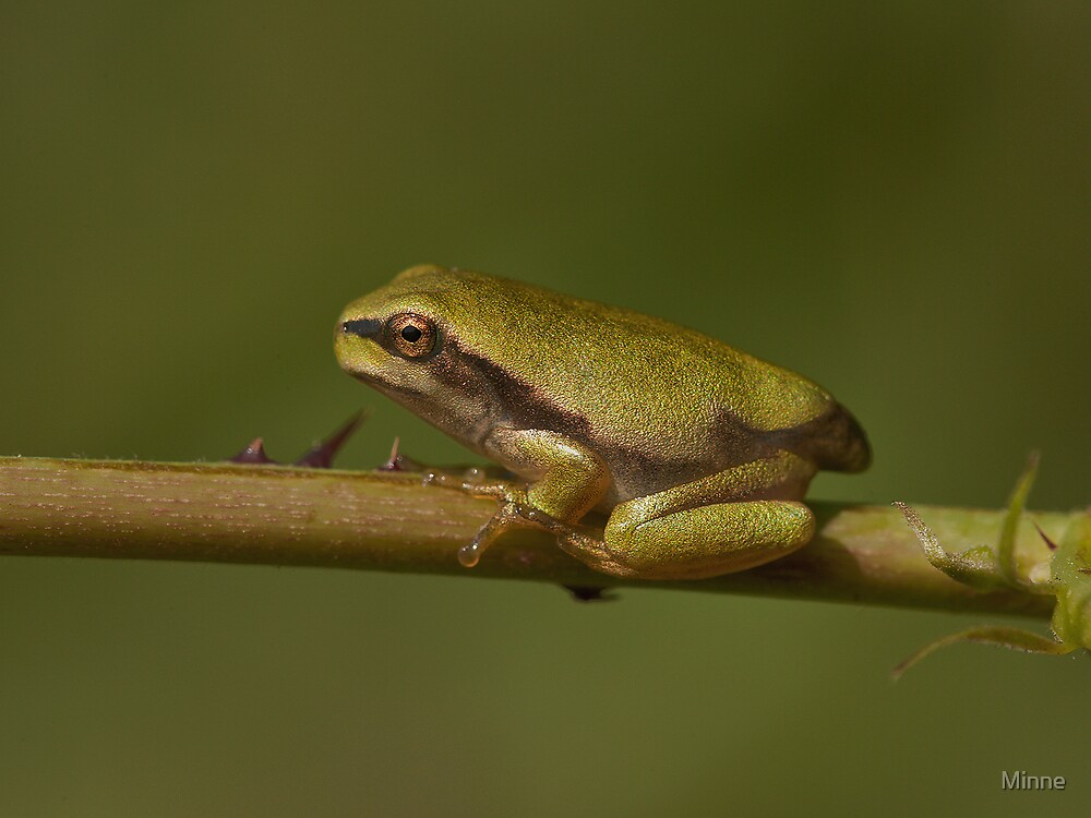 Young Tree Frog by Minne