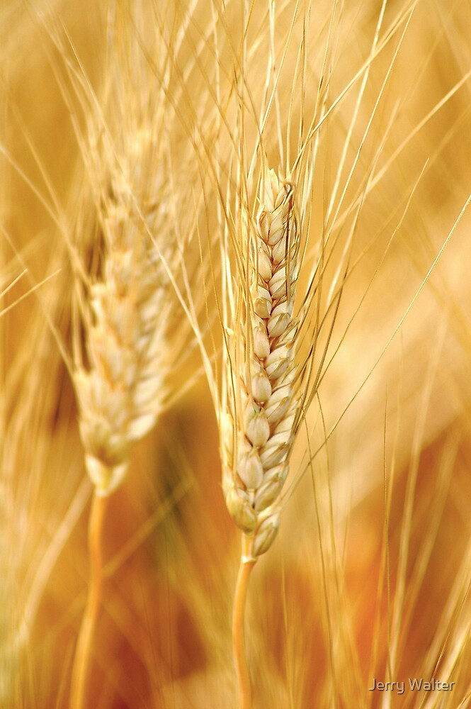 Durum Wheat by Jerry Walter