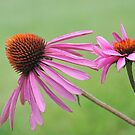 Coneflowers in Bloom by EmmaLeigh