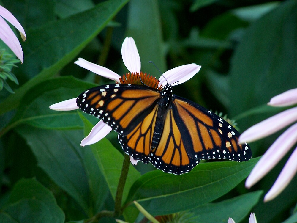Monarch on a Coneflower by madmac57