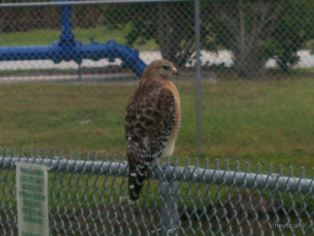 Red Shouldered Hawk by nauticalelf