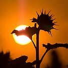 Back Lit Sunflower by Jerry Walter