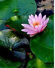 Pink Water Lily In The Pond by Beth Brightman
