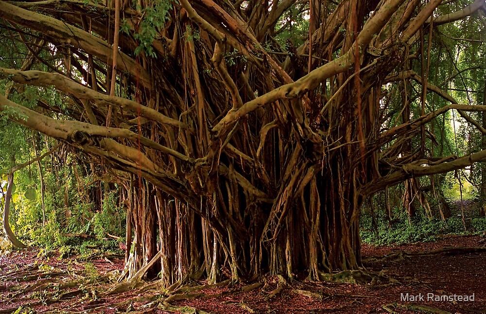 Banyan Tree Hilo by Mark Ramstead