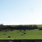 Irish Cows :) by Shannon Kennedy