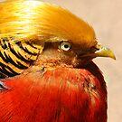 Golden Pheasant by Steve Bullock