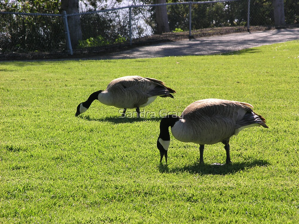 Geese Eating Grass by Sandra Gray