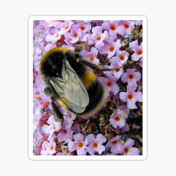Up Close and Personal - Bumble Bee at Work  Sticker