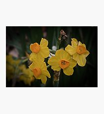 Spider and Daffodils Leith Park Victoria 20170906 1263  Photographic Print