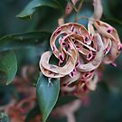 Tasmanian Blackwood Seed Pods by michellerena