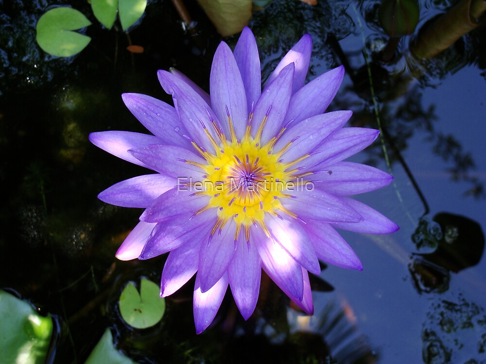 Water Lilly by Elena Martinello
