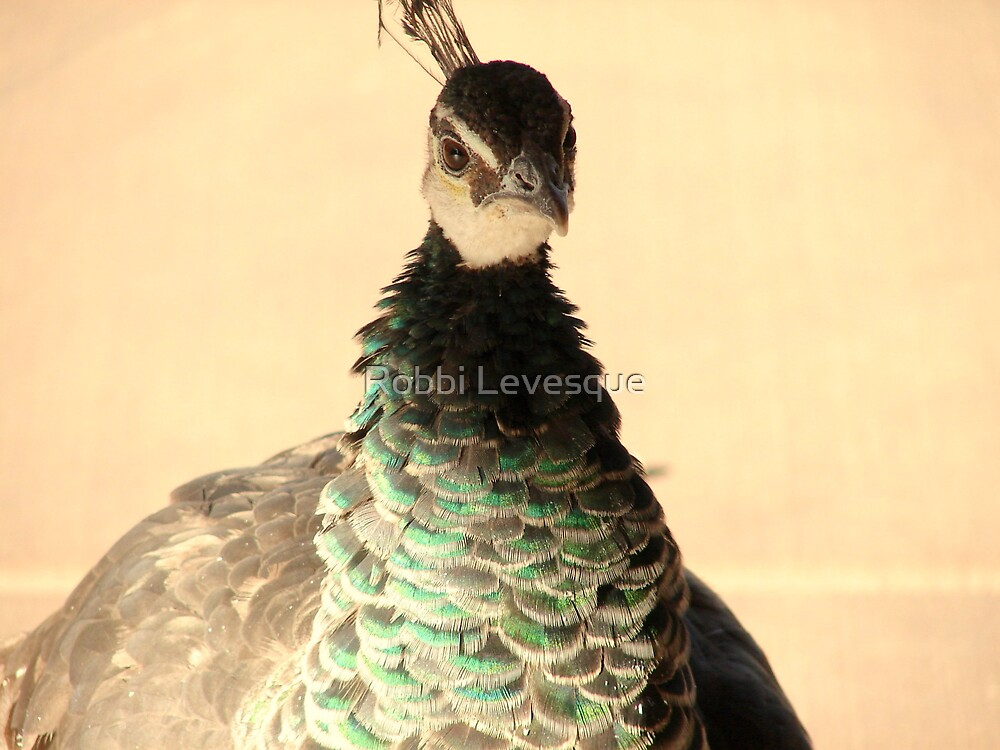 Peacock Attitude by down23