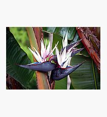 Giant Bird of Paradise Photographic Print