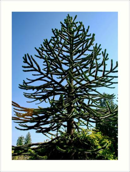 Araucaria araucana (im Volksmund Affen-Puzzle-Baum oder Affen-Schwanz-Baum genannt) von AnnDixon