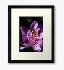 Lavender Rhododendron Flower Framed Print