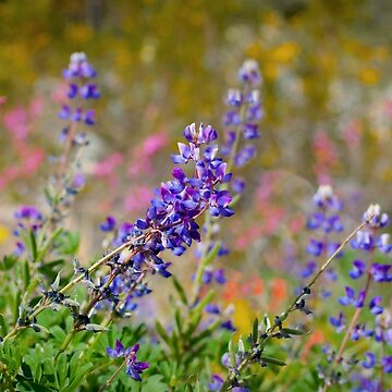 Mountain Wildflowers by DianaG