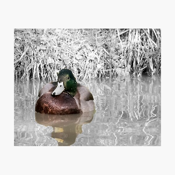 Duck on the water Napton on the hill Photographic Print