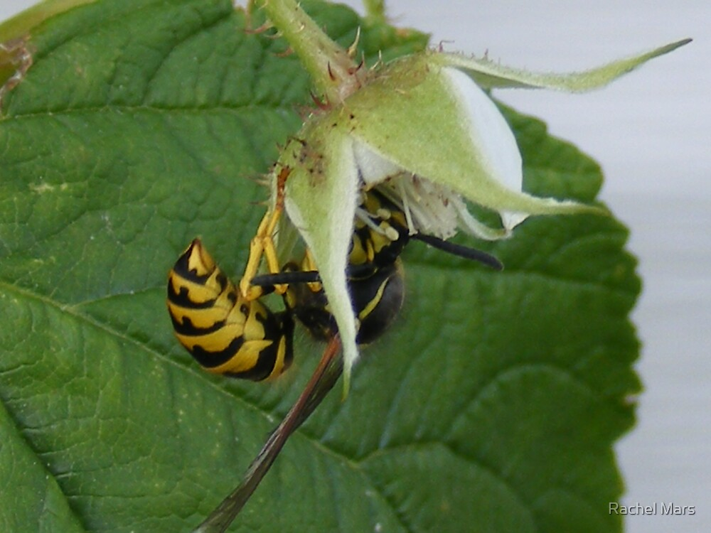 Wasp by Rachel Mars