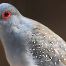 Diamond Dove by Steve Bullock
