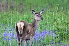 Red deer in the bluebells by Tom Page