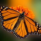 Monarch  by Bonnie T.  Barry