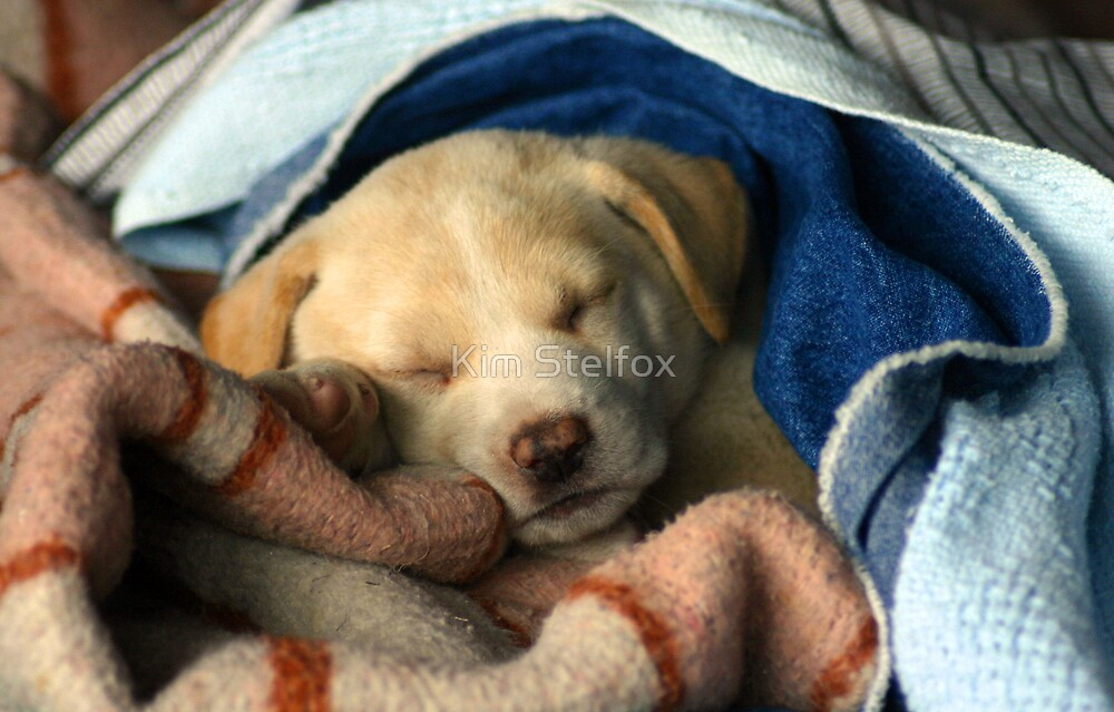 puppy in blanket by Kim Stelfox