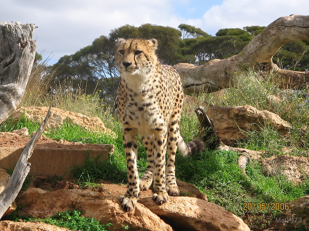 Cheetah, Monarto Zoo by Mel1973
