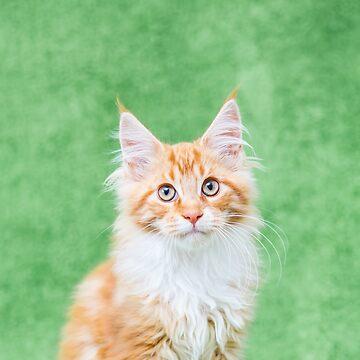 Maine Coon kitten by Penel