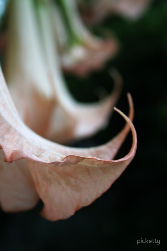 Angels Trumpets(Brugmansia) by picketty