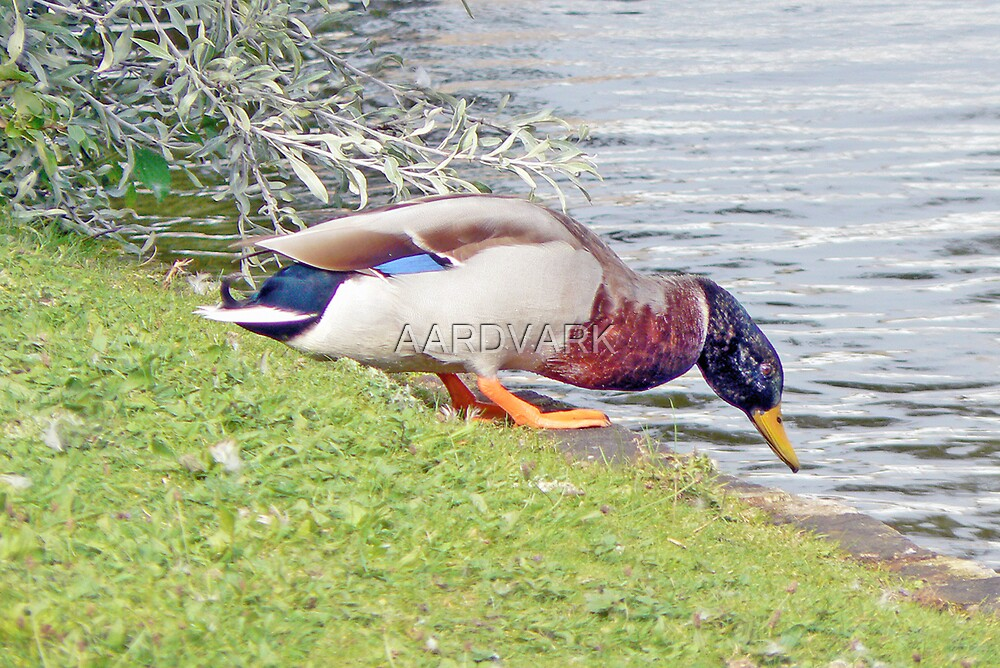 One Small Step For A Duck by AARDVARK