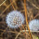 USA. California. Dandelions. by vadim19