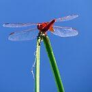 Dragonfly 3 by Kallian