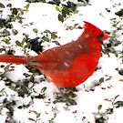 Cardinal In The Boxwood by AngieDavies