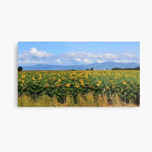 Sunflower Field in Full Bloom Metal Print