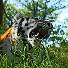 tiger by Rudschinat