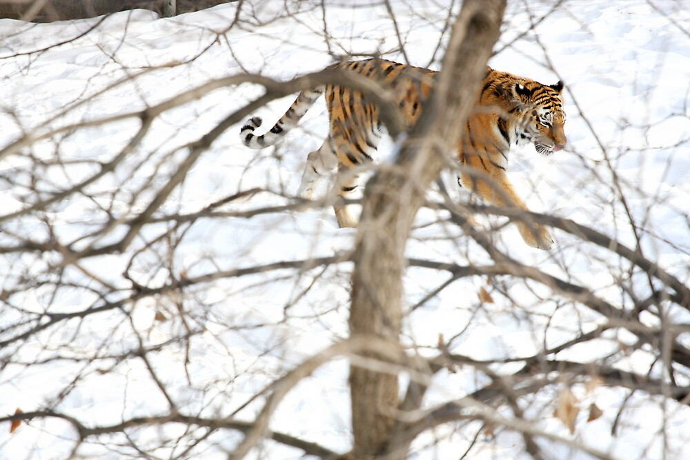 Winter Tiger by sara montour