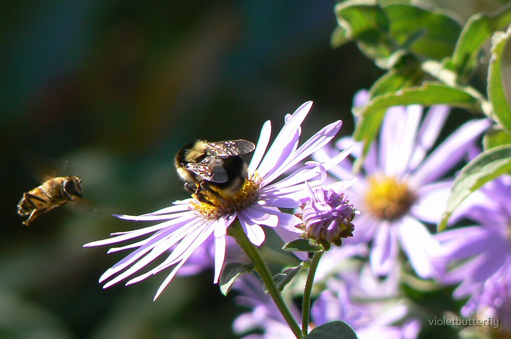 Bee On Wonder Of Staffa Aster by violetbutterfly