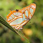 Malachite Butterfly (Siproeta stelenes) by hummingbirds