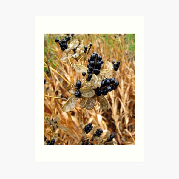 Wet Fall Berries Art Print