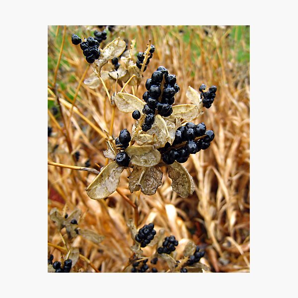 Wet Fall Berries Photographic Print