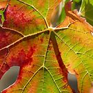 Autumnal leaf in the vineyard by Sylvie Lebchek