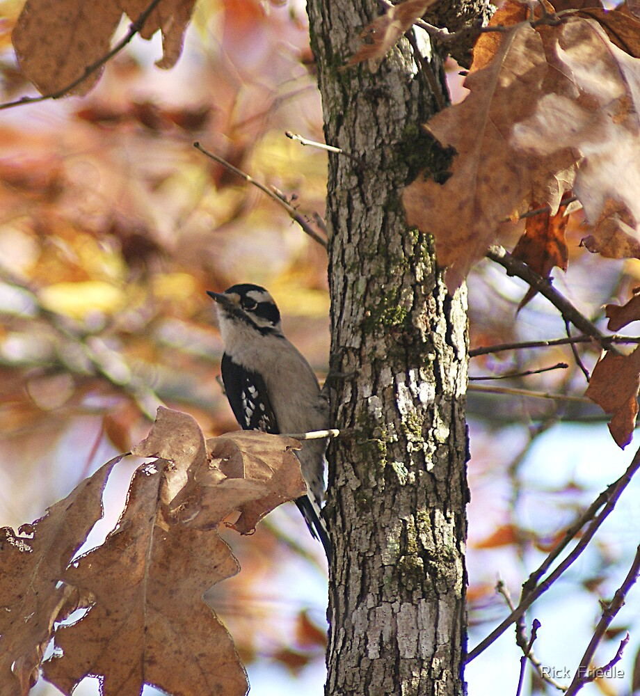 Woodpecker by Rick  Friedle